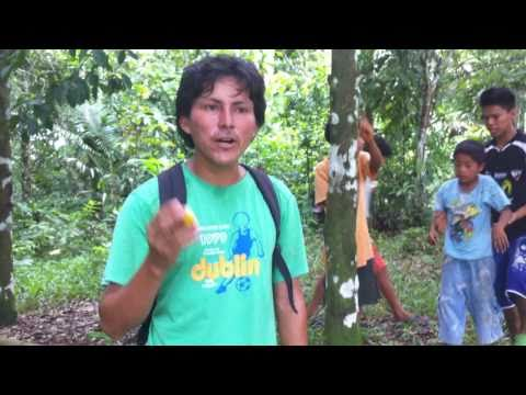 Charichuelo fruit (Garcinia madruno) in the high ground of Amazonia, near Paucarina Lodge
