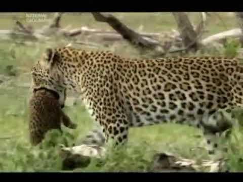 Документальный фильм про животных. В глазах леопарда