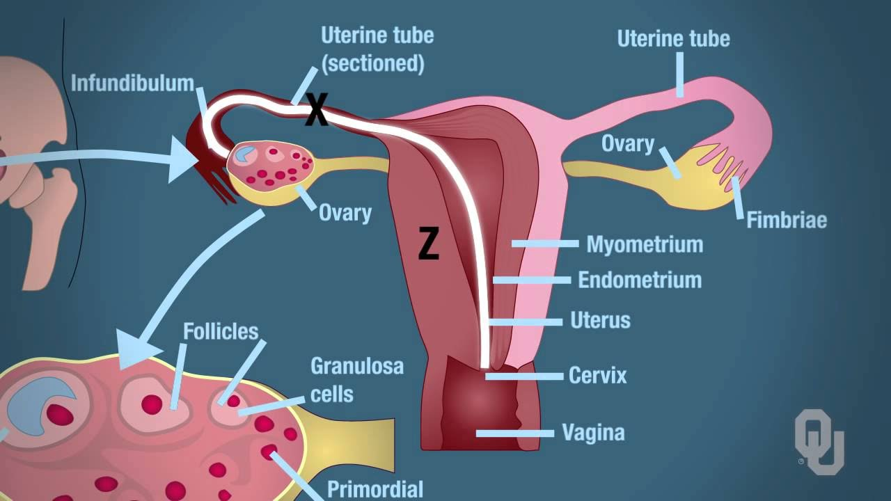 anatomy and physiology of female reproductive system - YouTube