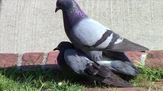 Gambar cover Bird Sex Episode 1 ✔️