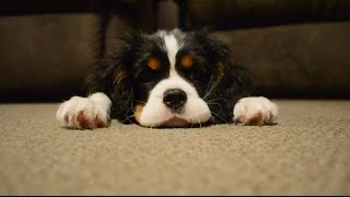 Ckcs Puppy Cavalier King Charles Spaniel Puppy 3 Months Old. Cheeky Zoe. Hungry Zoe. Sleepy Zoe.