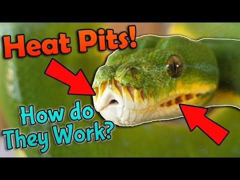 Fun Snake Facts: How Heat Pits Work!