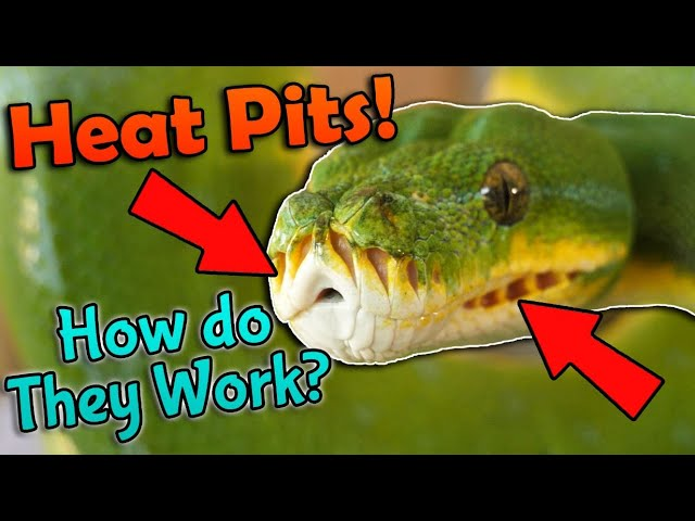 Fun Snake Facts How Heat Pits Work Youtube