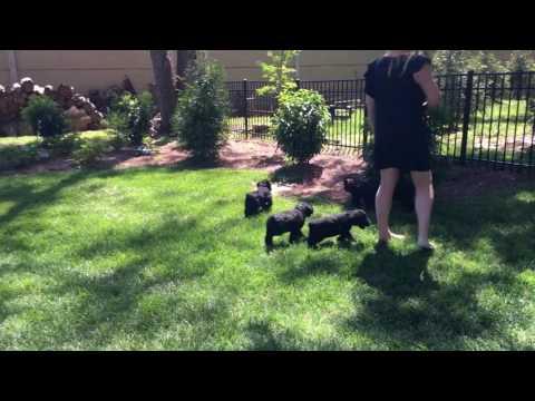 Giant Schnauzer Puppies 7 Wks Old K Litter von Prufenpuden For Sale W/Training