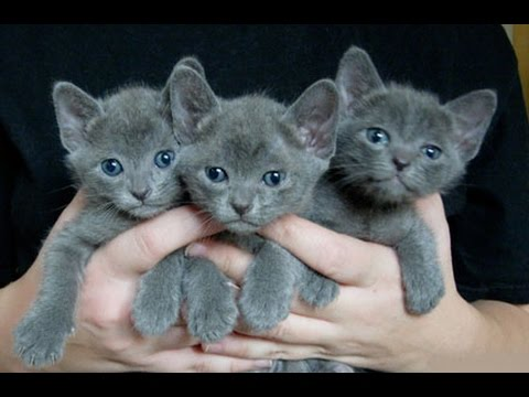 Korat Cat and Kittens | History of the Thai Historical Breed