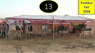 पुष्कर मेला Pushkar Fair Indian Marwari Horse Market 2018 :  Ghoda Bazar : Equine Trading