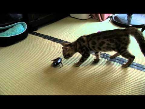 ベンガル仔猫vsゴキブリラジコン=^_^=  Bengal Kitten vs Radio control Cockroach