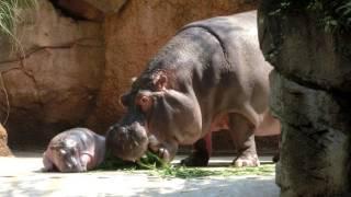 王子動物園で初めて赤ちゃんが外のプールにデビューしました。