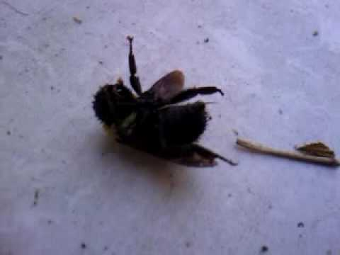 Dead Female Carpenter Bee With Huge Stinger