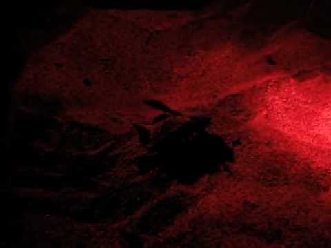 Pacific Black/Green Sea Turtle Observation In Guanacaste, Costa Rica