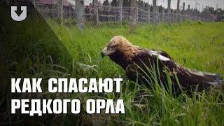 Орел-могильник в Беларуси