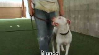 Blanco - Beautiful White Deaf Obedience Trained Dog Needs Home
