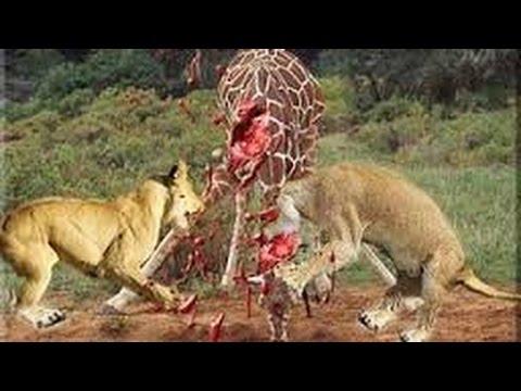 25 Lion VS 1 Giraffe , Strong Giraffe!