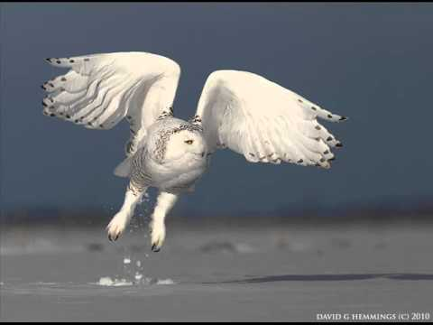 A Snowy Owl Photography Workshop by David Hemmings
