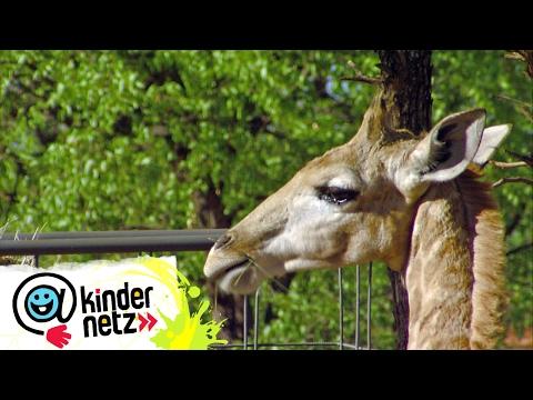 Eine wilde Zeit in Afrika | OLI's Wilde Welt | SWR Kindernetz