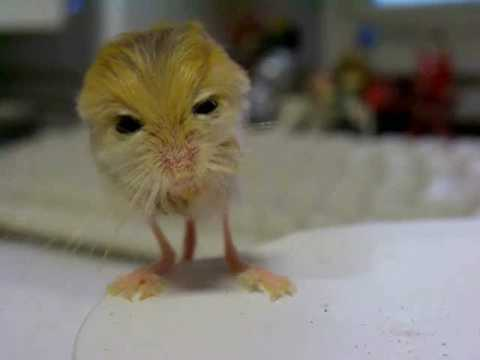 A Pygmy Jerboa cleanin...
