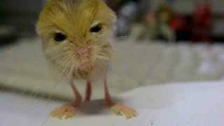 pygmy jerboa 体重測定