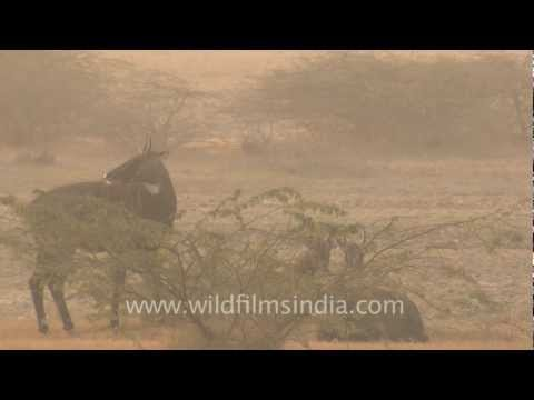 Blue bulls - A common sight in India!