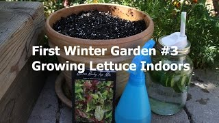How to Grow Lettuce Indoors: First Winter Garden Series #3: