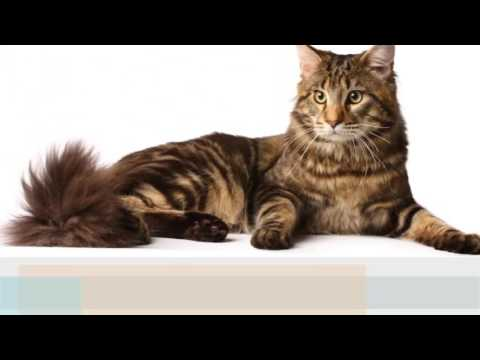 Manx cat  History,Personality,Health,Care