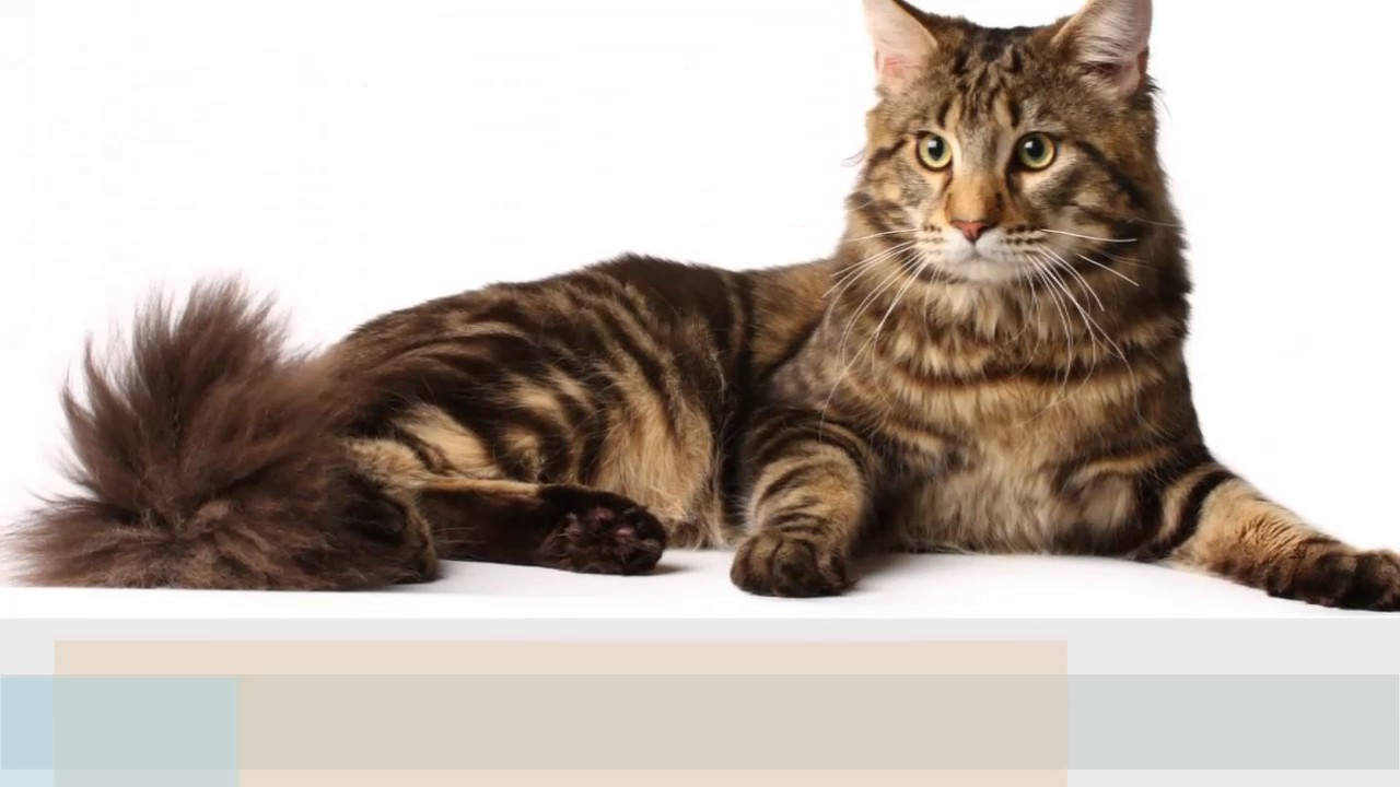 Cymric Cat — Full Profile, History, and Care  |Manx Cat History