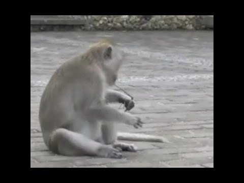 Monkeys hold tourists to ransom