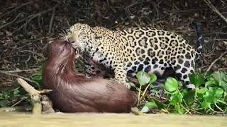 Ягуар против крокодила Леопард охотиться Невероятная животная сумасшедшая сцена попала в камеру