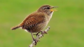 Wren Bird Singing a Beautiful Song at The Coast
