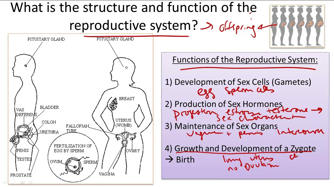 Reproductive System Structure And Function Youtube