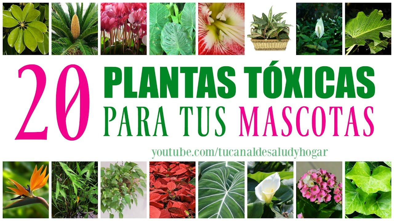 Plantas t xicas para mascotas youtube for Plantas toxicas gatos
