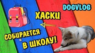 ХАСКИ СОБИРАЕТСЯ В ШКОЛУ! Говорящая собака