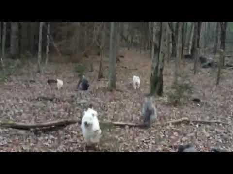 Pumi puppy hiking