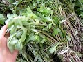 Purslane: Packed with Omega 3 from Plants-Rule