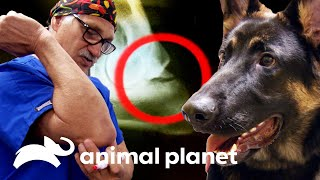 Dr. Jeff le salva la pata a un pastor alemán | Dr. Jeff, Veterinario | Animal Planet