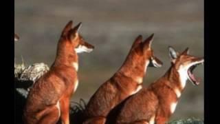 П. Леснов. Рассказы о животных  Шакалы  читает Павел Беседин