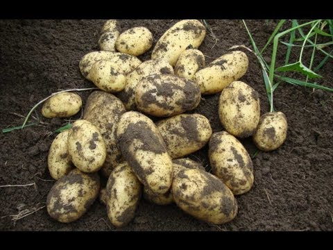 Allotment Diary : How to grow potatoes in containers for an early crop