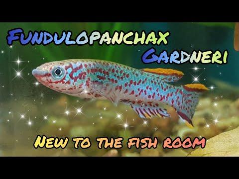 Killifish Fundulopanchax Gardneri - New Additions To The Fish Room
