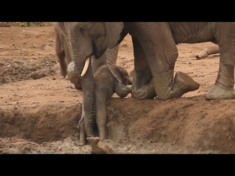 Elephants Rush Over To Help Baby Out Of Muddy Bank