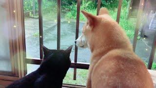 雨の日の少しセンチな柴犬と黒猫 Rainy day