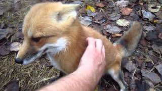 Squeeze the Fox