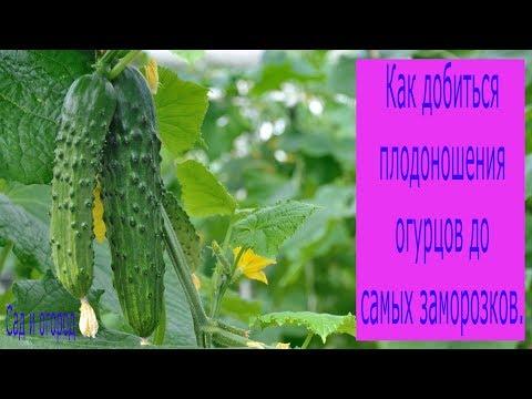 Как добиться плодоношения огурцов до самых заморозков. Сад и огород выпуск 188