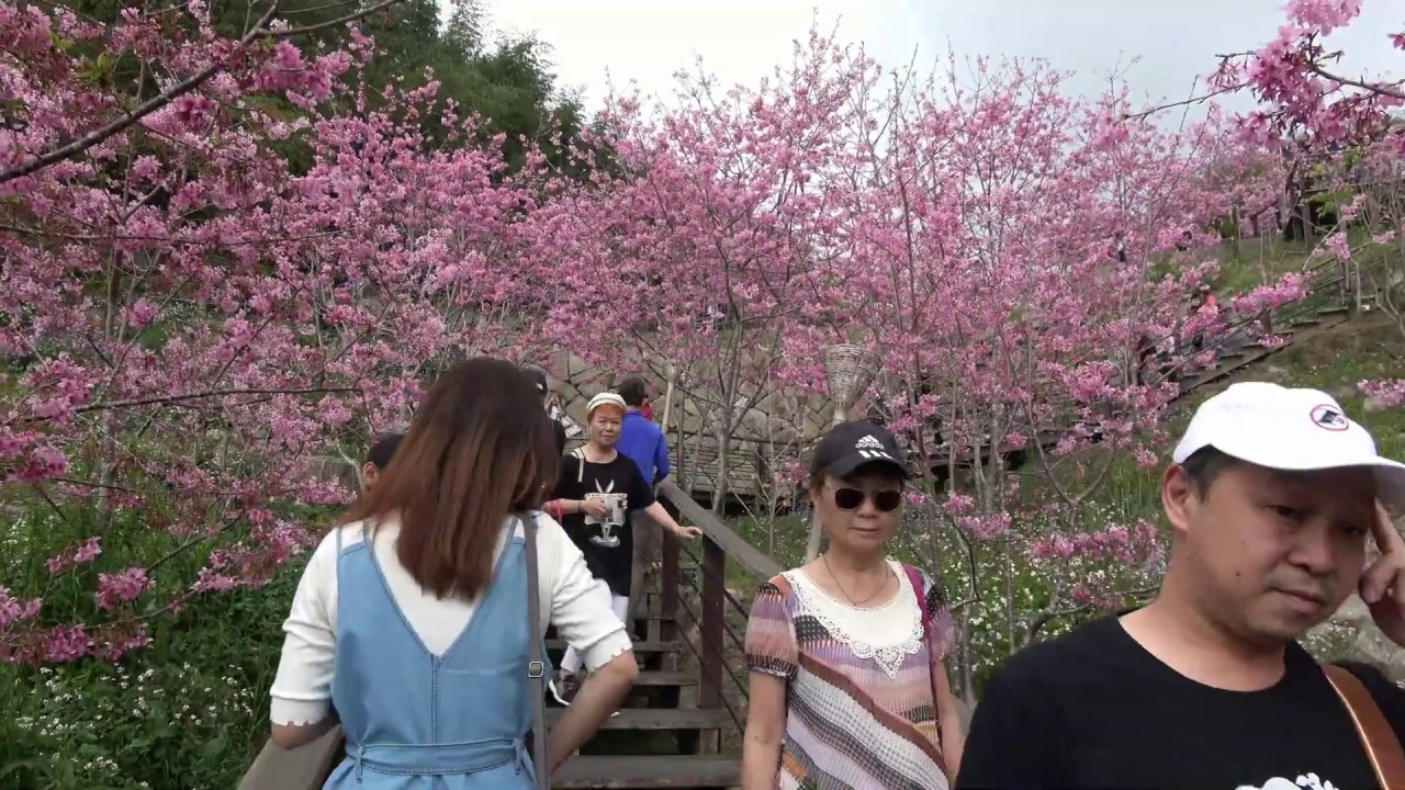 石棹櫻之道賞櫻~~109 3 1 林鳳明 - YouTube
