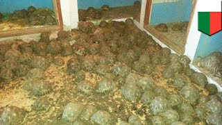 10,000 endangered radiated tortoises discovered in a house - TomoNews