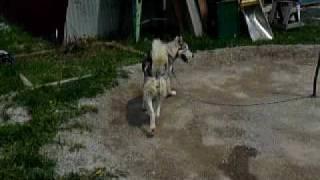 仔犬,狼犬,アラスカンハスキー,シベリアンハスキー 橇犬です.