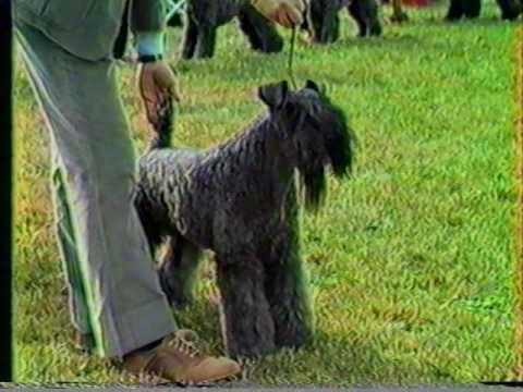 Kerry Blue Terrier BOB Devon KC & Montgomery County KC 1984 Part 3