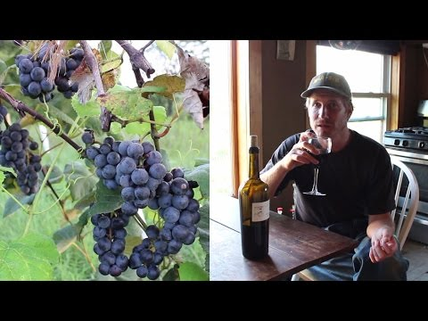 Making wine from home grown organic grapes: first steps