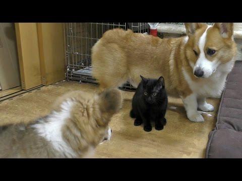 I am Roku / はじめましてロクです 20150704 Goro Kuro ゴローさん クロさん dog cat kitten puppy コーギー first time meet