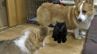 I Am Roku / はじめましてロクです 20150704 Goro@welsh Corgi ゴローさん クロさん Dog Cat Kitten Puppy
