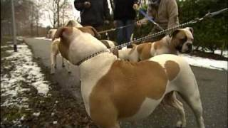 Amerikaanse Bulldog Kennel Boc Op Tv / American Bulldog Kennel Boc On Tv