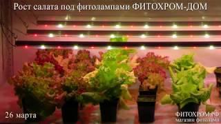 Салат зимой под фитолампами ФИТОХРОМ.РФ